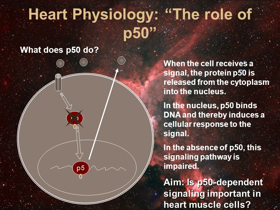 Heart Physiology: The role of p50 What does p50 do.
