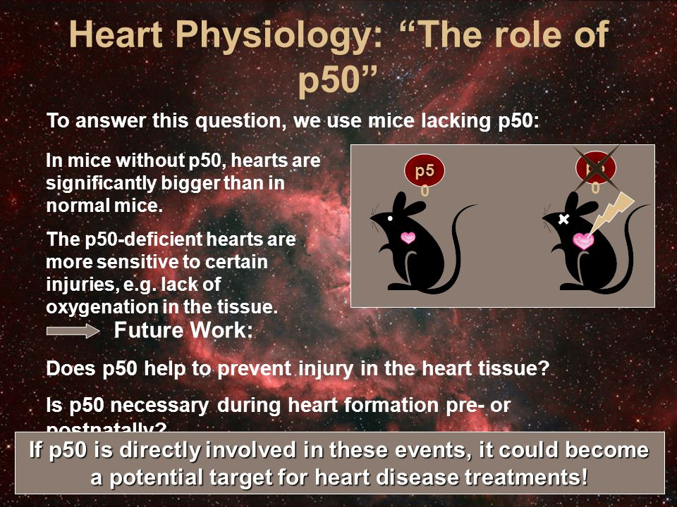 Heart Physiology: The role of p50 To answer this question, we use mice lacking p50: In mice without p50, hearts are significantly bigger than in normal mice.