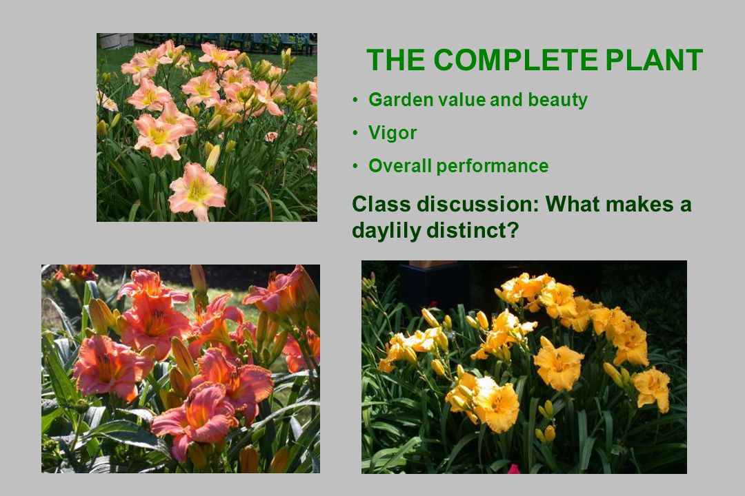 THE COMPLETE PLANT Garden value and beauty Vigor Overall performance Class discussion: What makes a daylily distinct