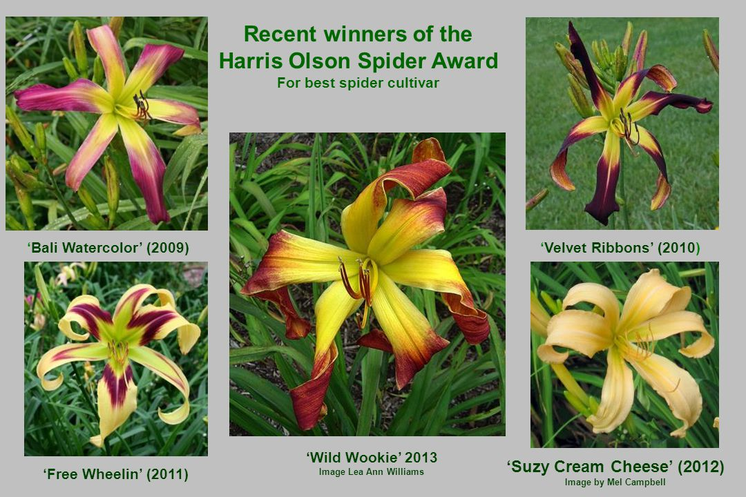 'Suzy Cream Cheese' (2012) Image by Mel Campbell 'Velvet Ribbons' (2010) 'Bali Watercolor' (2009) 'Free Wheelin' (2011) Recent winners of the Harris Olson Spider Award For best spider cultivar 'Wild Wookie' 2013 Image Lea Ann Williams