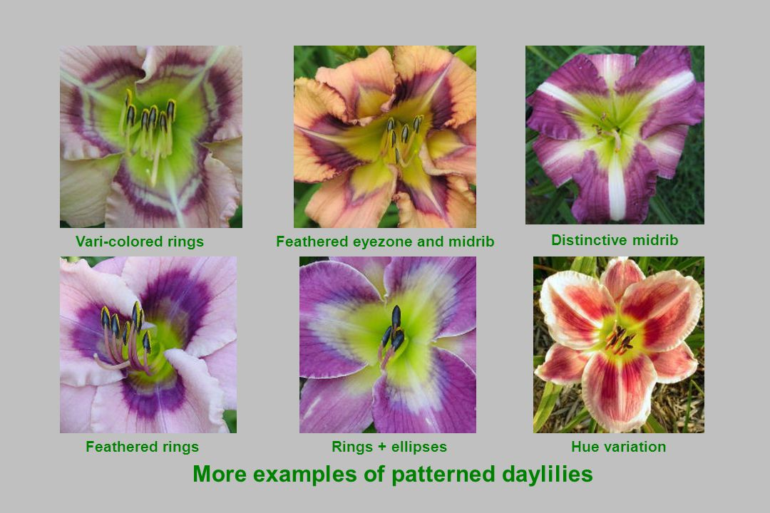 Vari-colored ringsFeathered eyezone and midrib Distinctive midrib Hue variation More examples of patterned daylilies Feathered ringsRings + ellipses