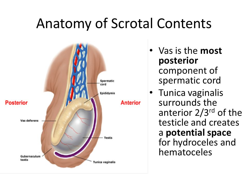 Anatomy of Scrotal Contents Vas is the most posterior component of spermatic cord Tunica vaginalis surrounds the anterior 2/3 rd of the testicle and creates a potential space for hydroceles and hematoceles