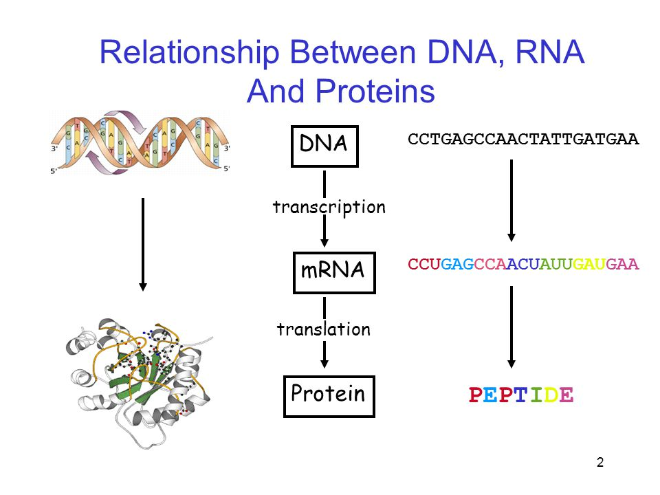 3 Protein Structure Primary Structure of Proteins The primary structure of peptides and proteins refers to the linear number and order of the amino acids present.