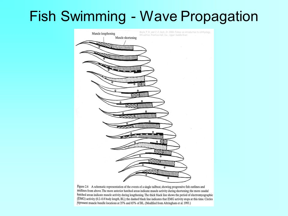 Fish Swimming - Wave Propagation