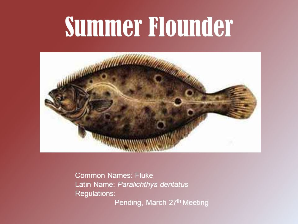 Summer Flounder Background Information -The summer Flounder or Fluke is a flat bodied fish that finds its way into area bays and harbors during the summer months -These bottom feeding fish are best caught drifting bait along sandy bottomed areas -These heavy fighting fish are referred to as door mats when the reach about eight pounds - Record fluke can weigh in at almost 30 pounds - Fluke leave the local deep water homes around September and October
