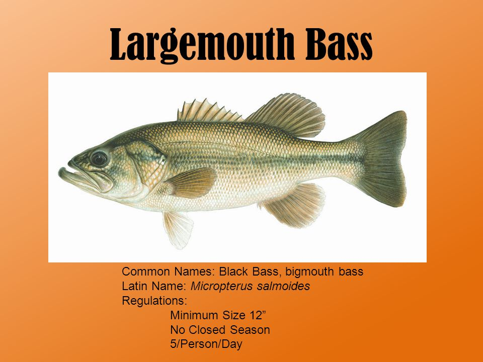 Largemouth Bass Background Information Appearance -green with dark blotches that form a horizontal stripe along the middle of the fish on either side -underside ranges in color from light green to almost white.