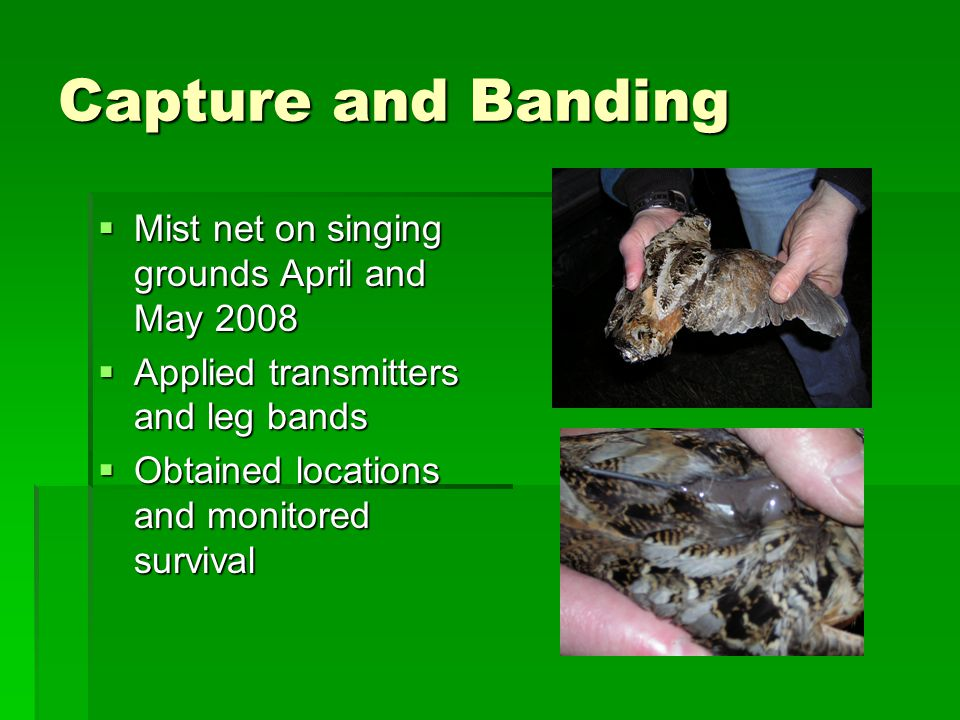 Capture and Banding  Mist net on singing grounds April and May 2008  Applied transmitters and leg bands  Obtained locations and monitored survival