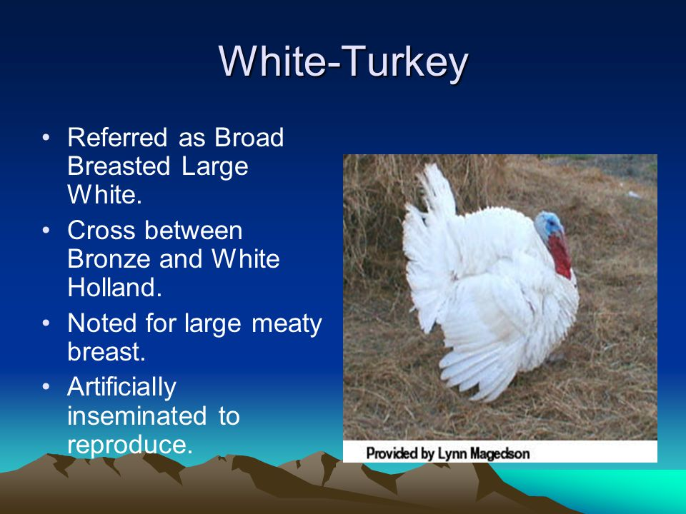 New Hampshire- Chicken Standard Weights: 5 ½ lbs to 8 ½ lbs. Use: meat production. Origin: Massachusetts and New Hampshire. Characteristics: –They pos