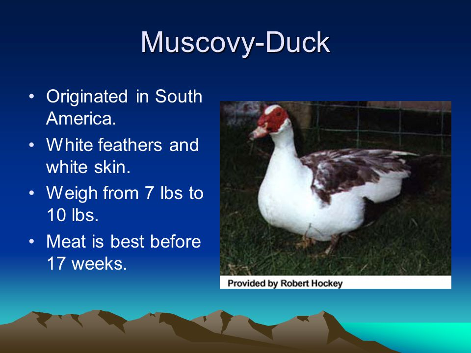 White Pekin-Duck White feathers, orange shanks and toes are desired.