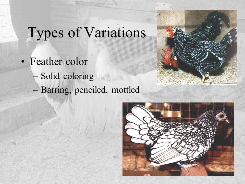 Types of Variations Feather color –Solid coloring –Barring, penciled, mottled