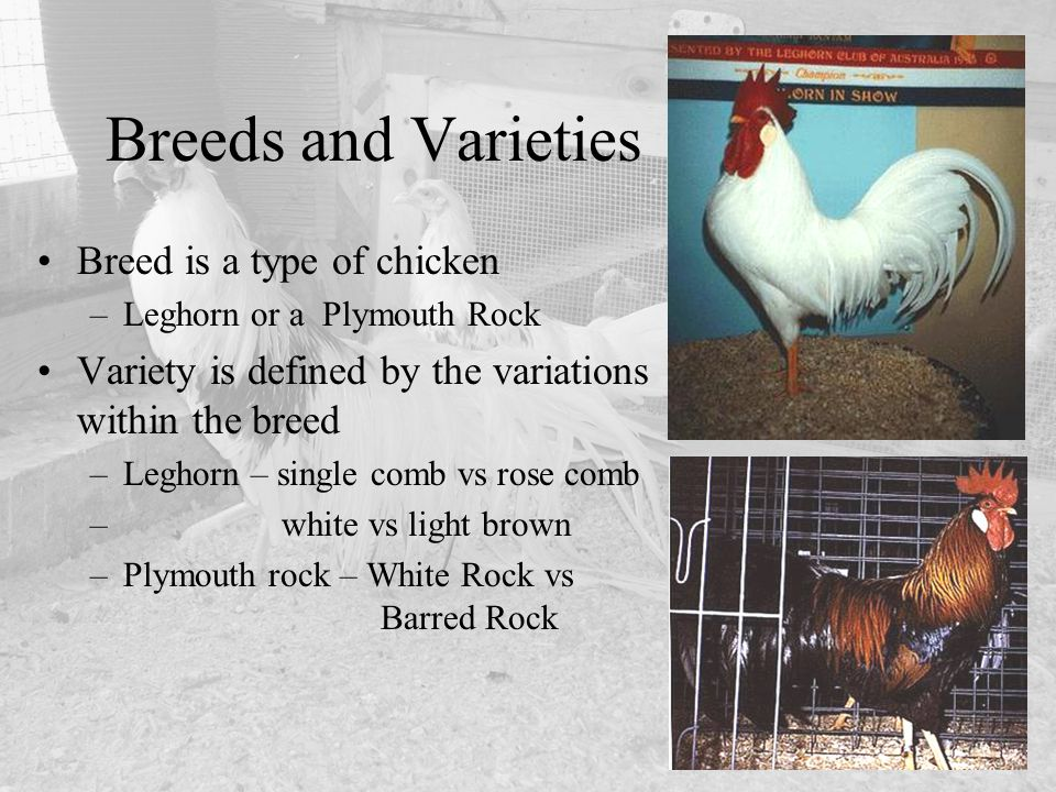 Breed is a type of chicken –Leghorn or a Plymouth Rock Variety is defined by the variations within the breed –Leghorn – single comb vs rose comb – whi