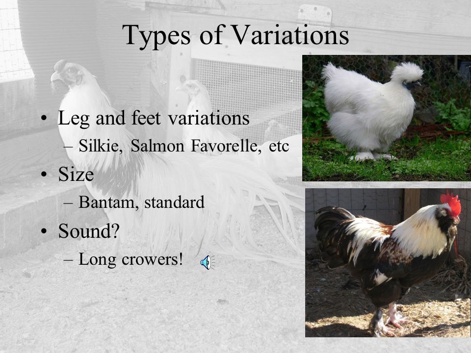 Leg and feet variations –Silkie, Salmon Favorelle, etc Size –Bantam, standard Sound? –Long crowers! Types of Variations
