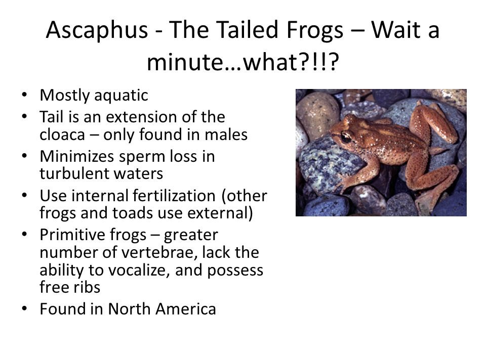Ascaphus - The Tailed Frogs – Wait a minute…what !!.