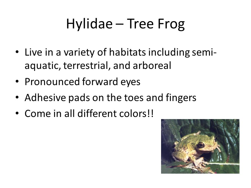Hylidae – Tree Frog Live in a variety of habitats including semi- aquatic, terrestrial, and arboreal Pronounced forward eyes Adhesive pads on the toes and fingers Come in all different colors!!