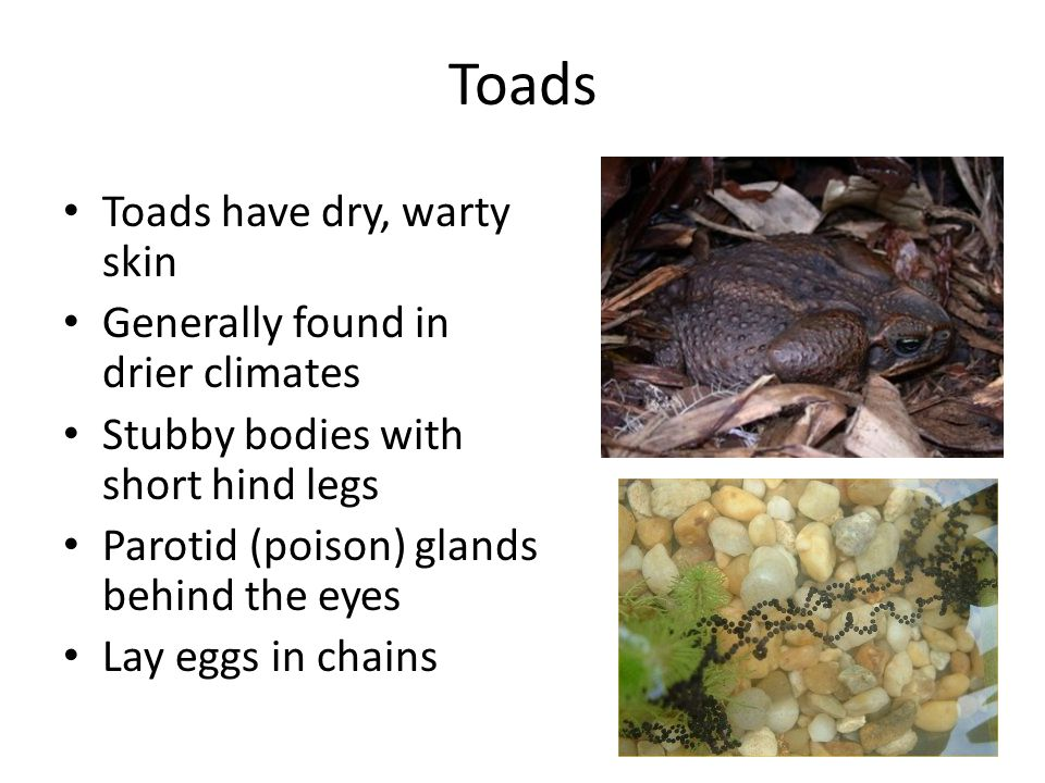 Toads Toads have dry, warty skin Generally found in drier climates Stubby bodies with short hind legs Parotid (poison) glands behind the eyes Lay eggs in chains