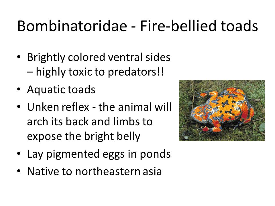 Bombinatoridae - Fire-bellied toads Brightly colored ventral sides – highly toxic to predators!.