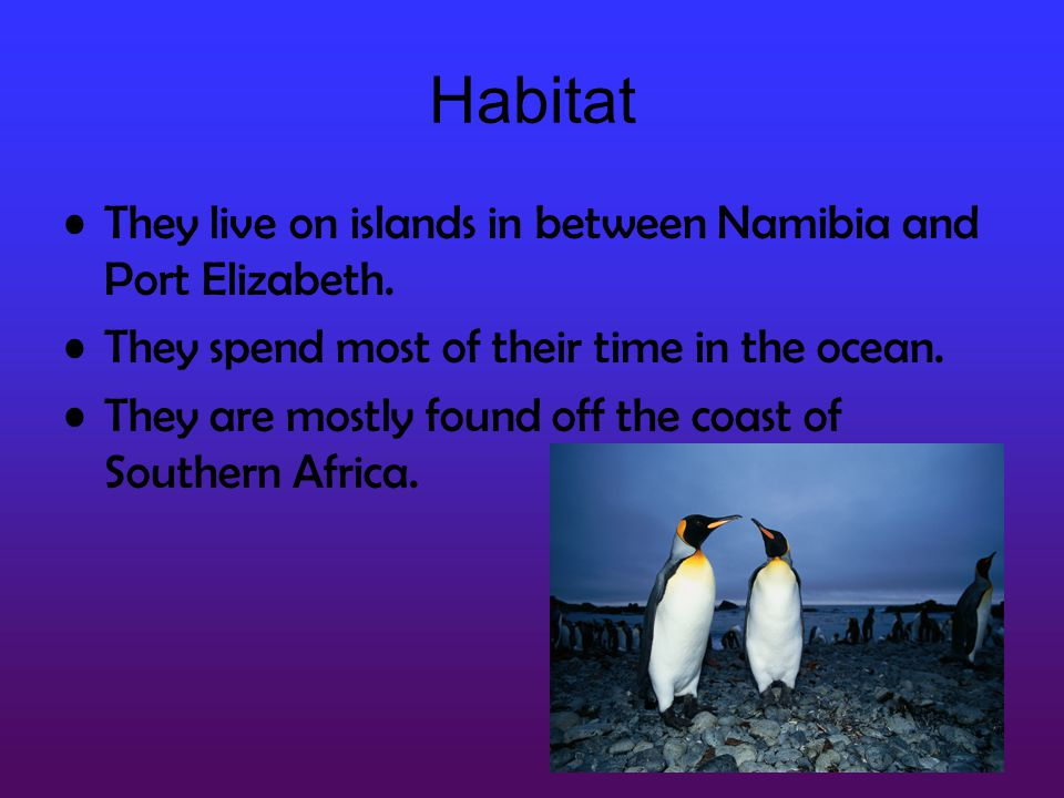 Habitat They live on islands in between Namibia and Port Elizabeth.