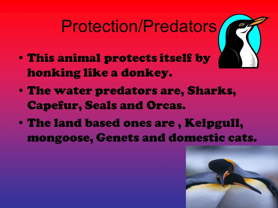 Protection/Predators This animal protects itself by honking like a donkey.