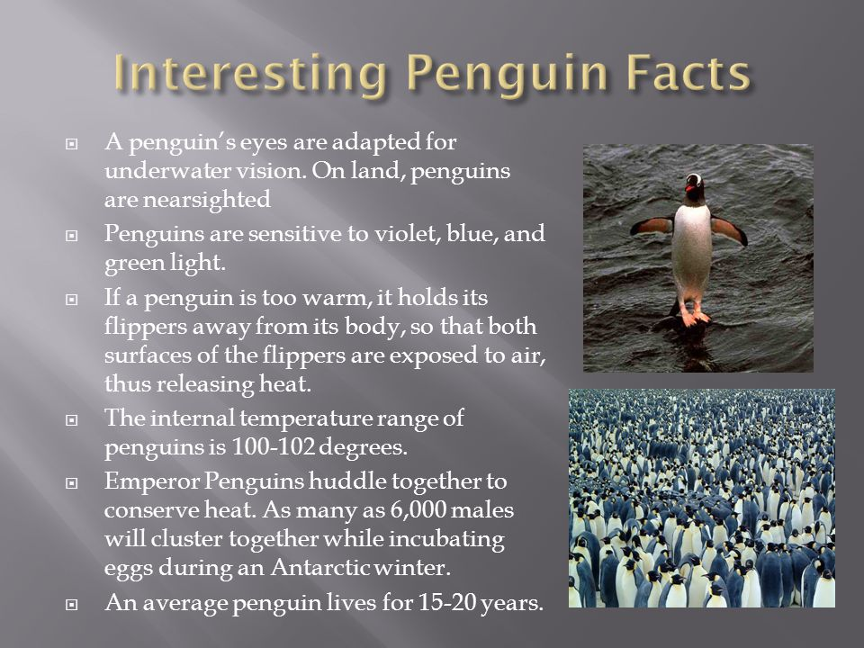  The emperor penguin is the largest of penguins standing at 3.7ft and weighing between 60-90lbs.