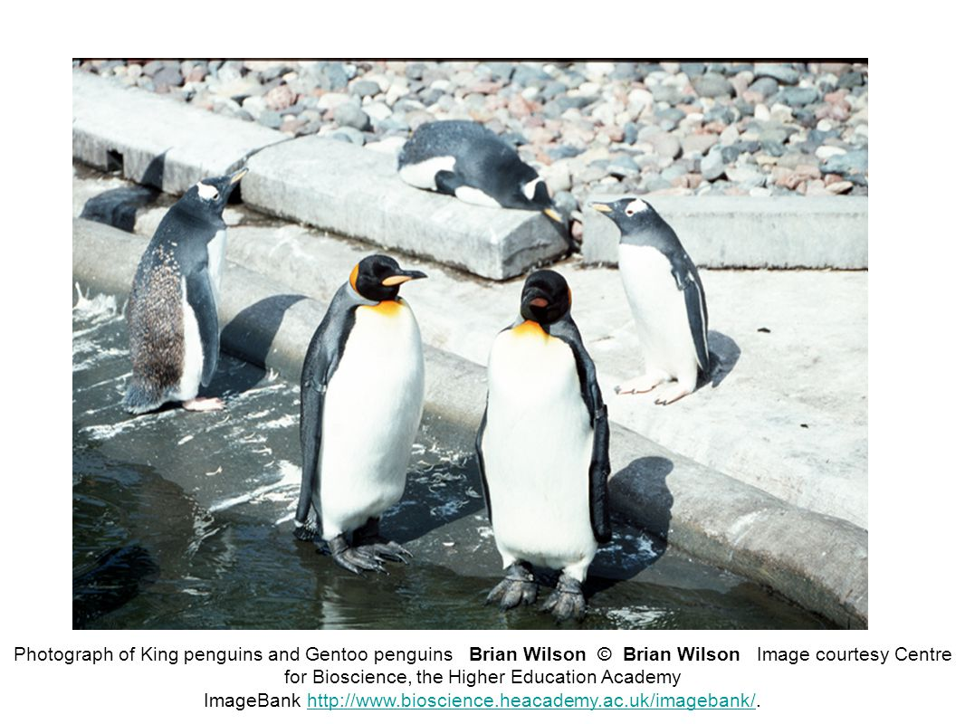Photograph of King penguins and Gentoo penguins Brian Wilson © Brian Wilson Image courtesy Centre for Bioscience, the Higher Education Academy ImageBank http://www.bioscience.heacademy.ac.uk/imagebank/.http://www.bioscience.heacademy.ac.uk/imagebank/