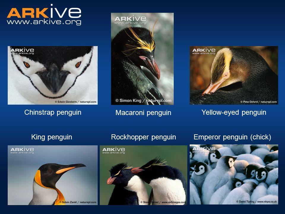 Chinstrap penguin Rockhopper penguinEmperor penguin (chick) Yellow-eyed penguin Macaroni penguin King penguin