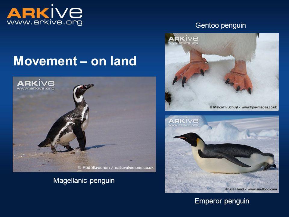 Movement – on land Emperor penguin Magellanic penguin Gentoo penguin