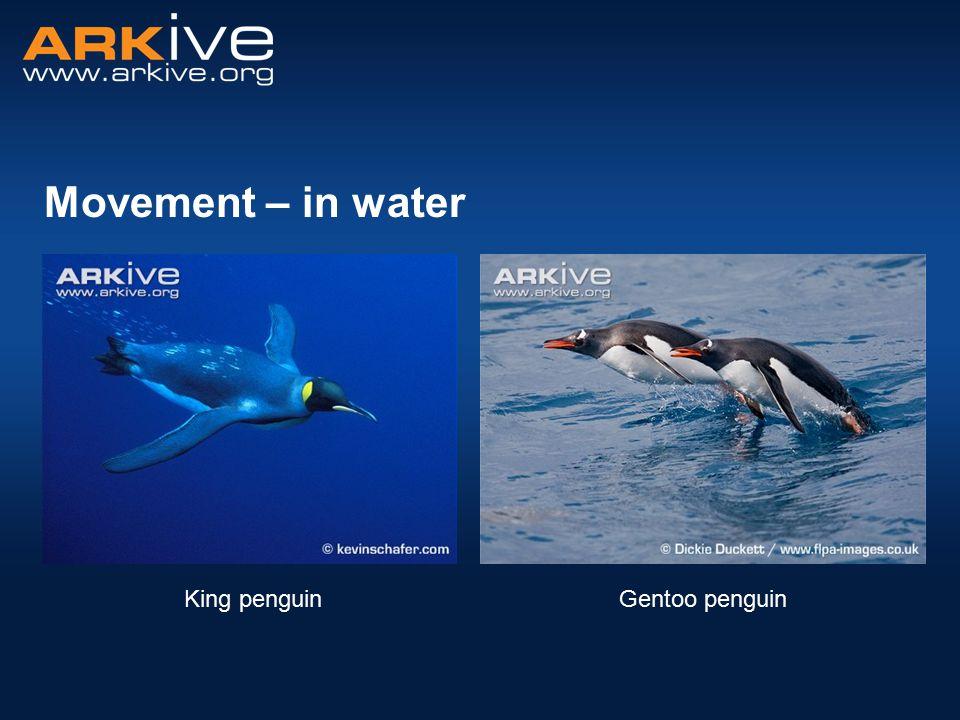 Movement – in water Gentoo penguinKing penguin