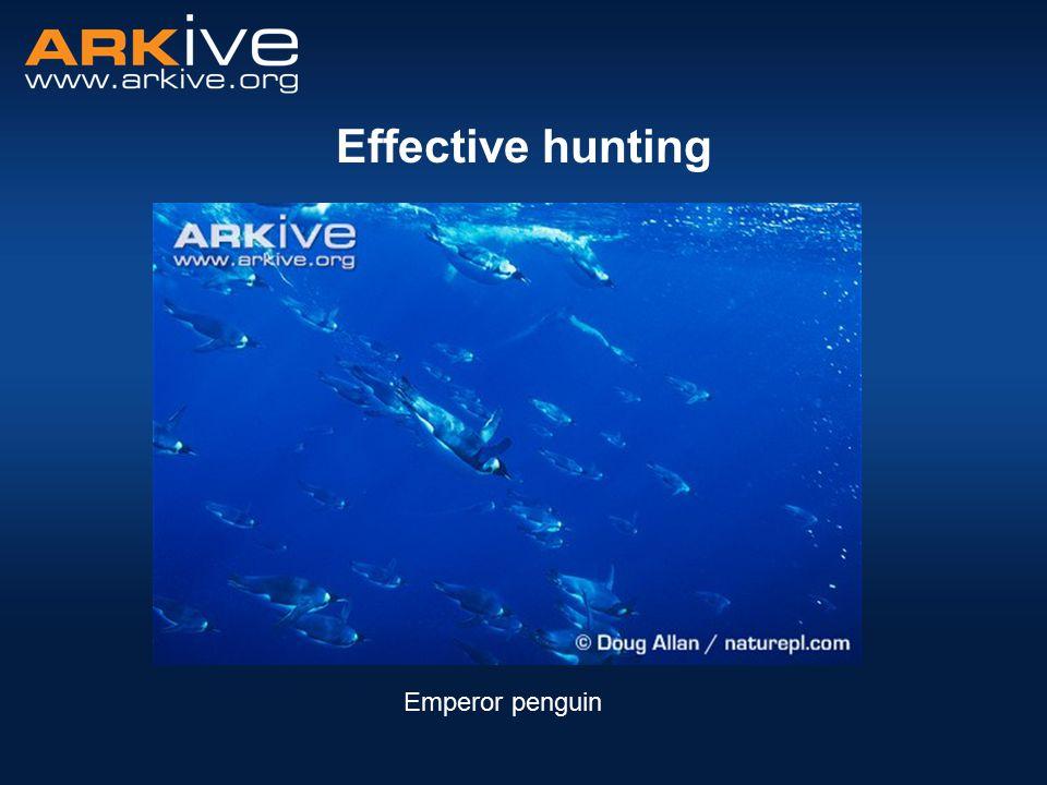 Effective hunting Emperor penguin