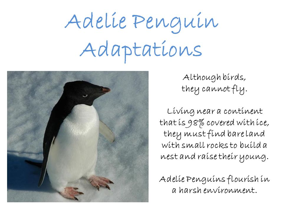 FEET Adelie Penguin feet turn pink when they walk or just after swimming.