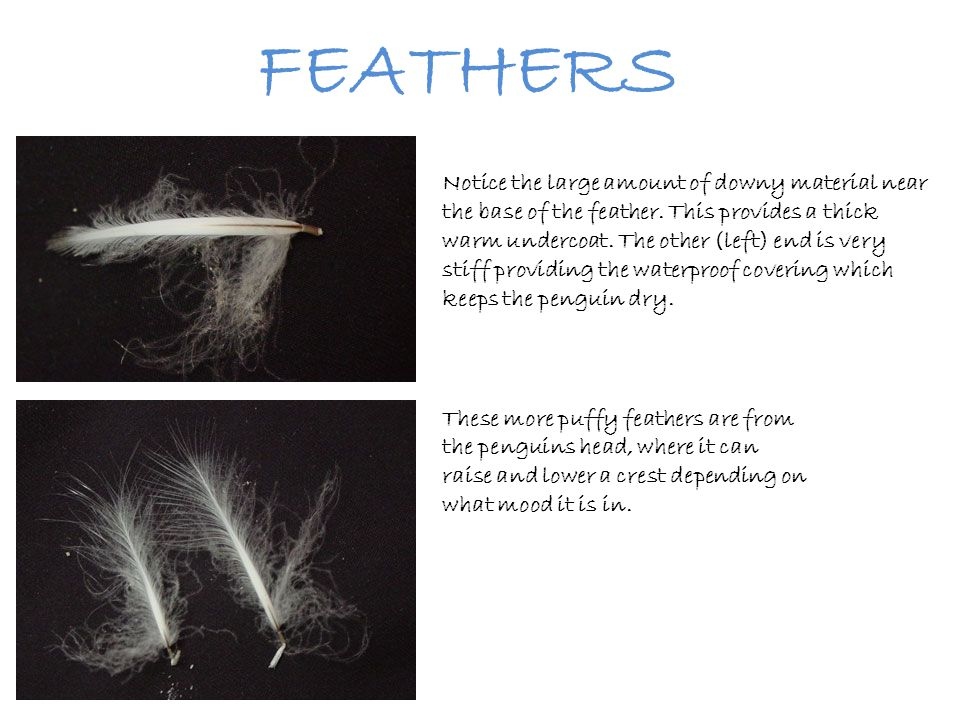 FEATHERS Notice the large amount of downy material near the base of the feather. This provides a thick warm undercoat. The other (left) end is very st