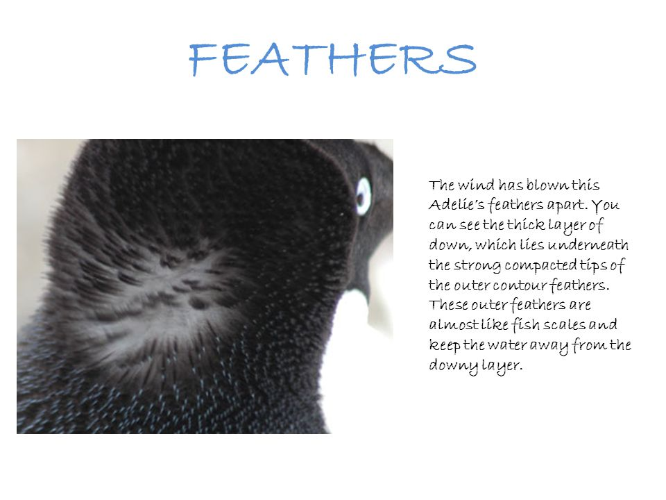 FEATHERS The wind has blown this Adelie's feathers apart. You can see the thick layer of down, which lies underneath the strong compacted tips of the