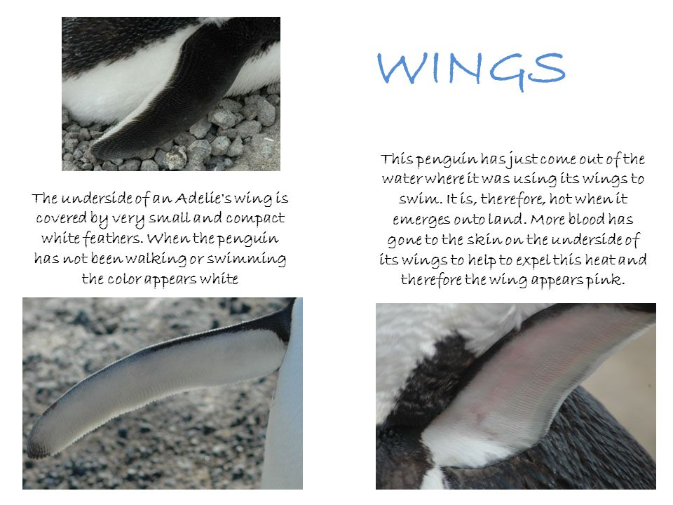 WINGS The ancestors of penguins flew both in the air and in the sea, just like auks (Northern Hemisphere) and shearwaters (Southern Hemisphere) do today.