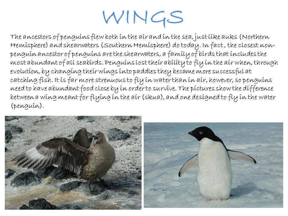 WINGS The ancestors of penguins flew both in the air and in the sea, just like auks (Northern Hemisphere) and shearwaters (Southern Hemisphere) do tod