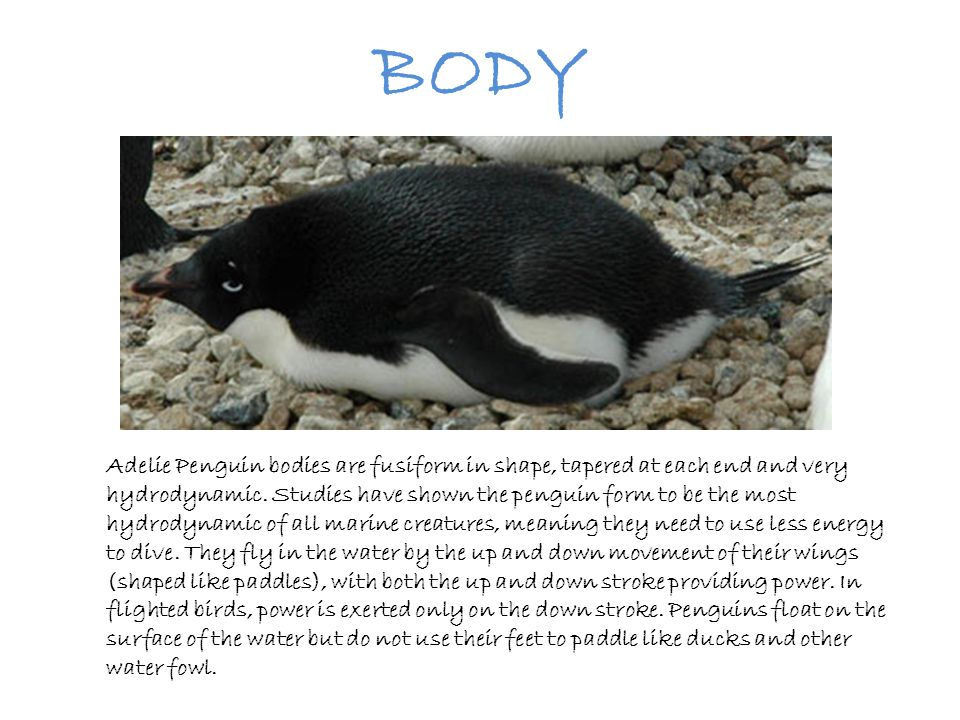 BODY Adelie Penguin bodies are fusiform in shape, tapered at each end and very hydrodynamic. Studies have shown the penguin form to be the most hydrod