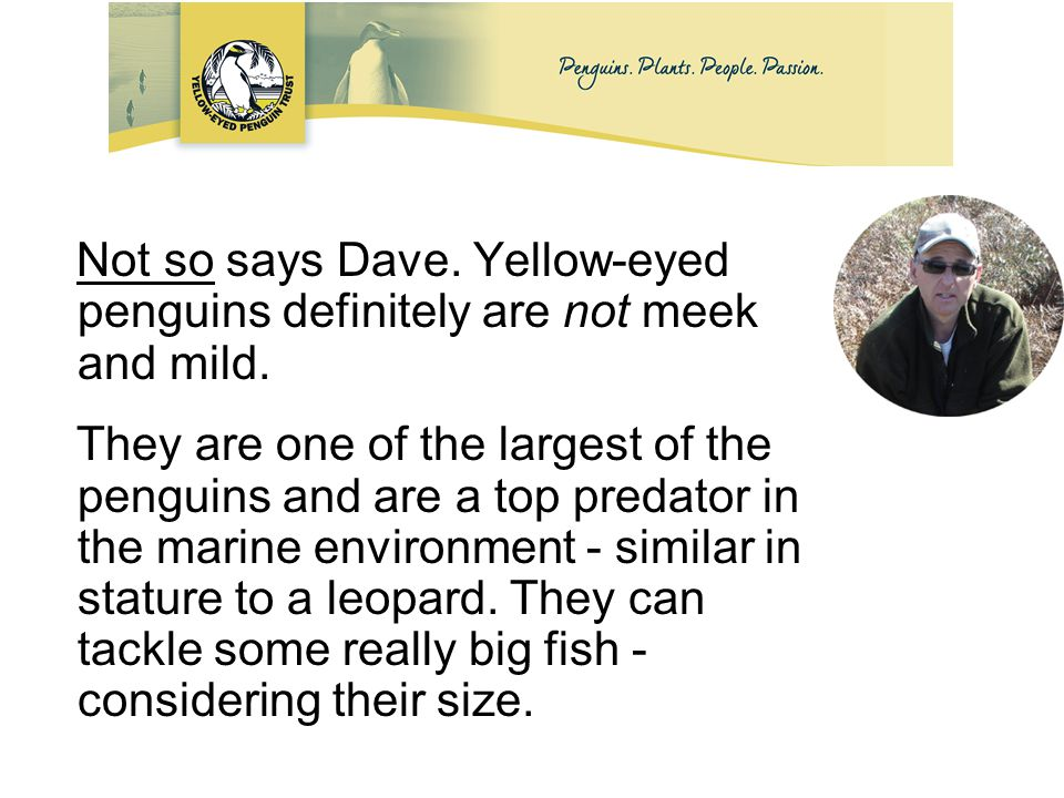 Not so says Dave. Yellow-eyed penguins definitely are not meek and mild.