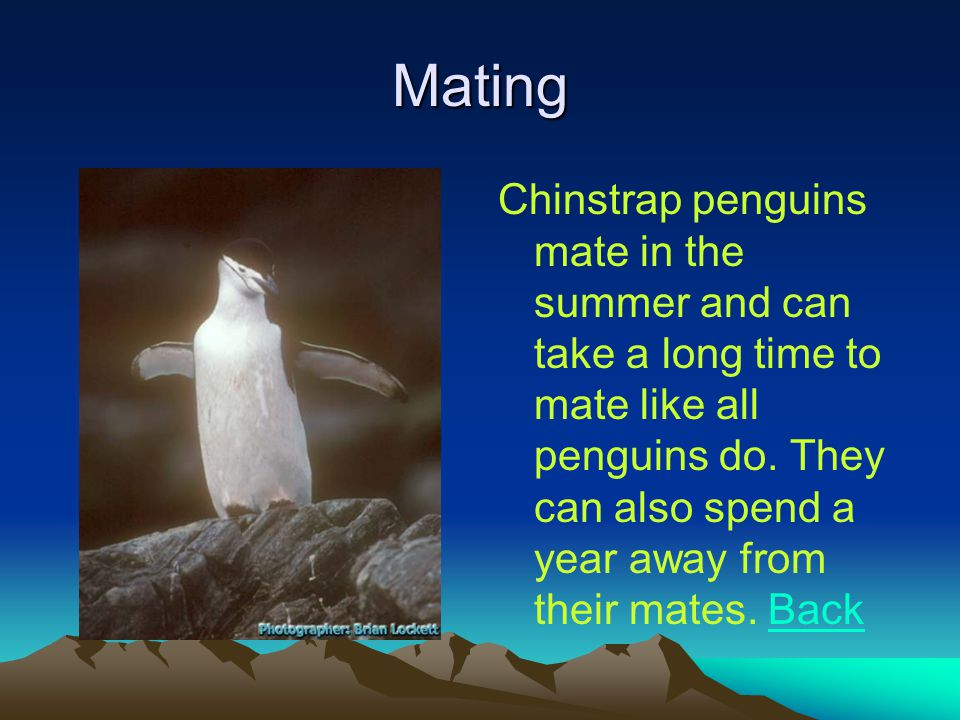 Mating Chinstrap penguins mate in the summer and can take a long time to mate like all penguins do.
