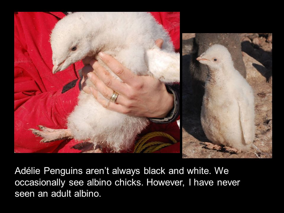Adélie Penguins aren't always black and white. We occasionally see albino chicks.