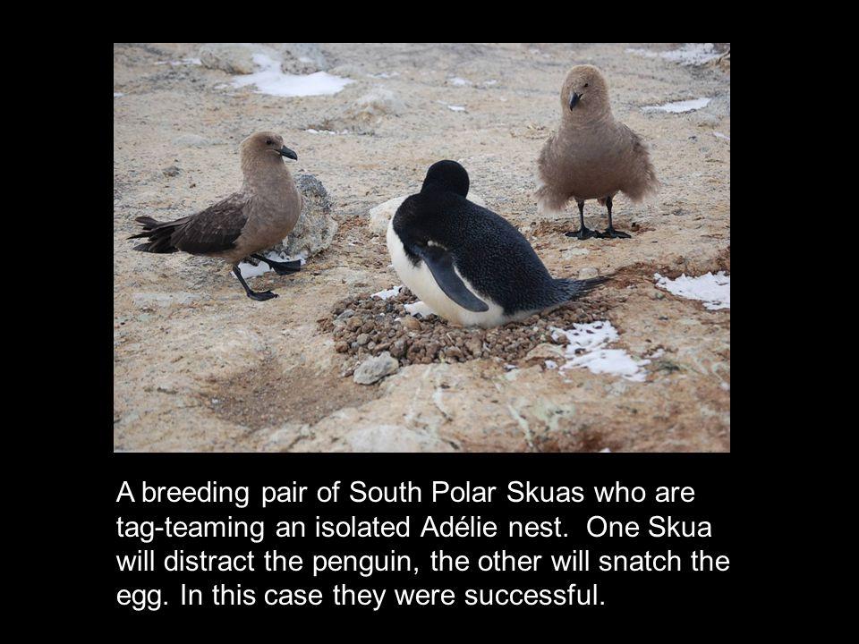 A breeding pair of South Polar Skuas who are tag-teaming an isolated Adélie nest.