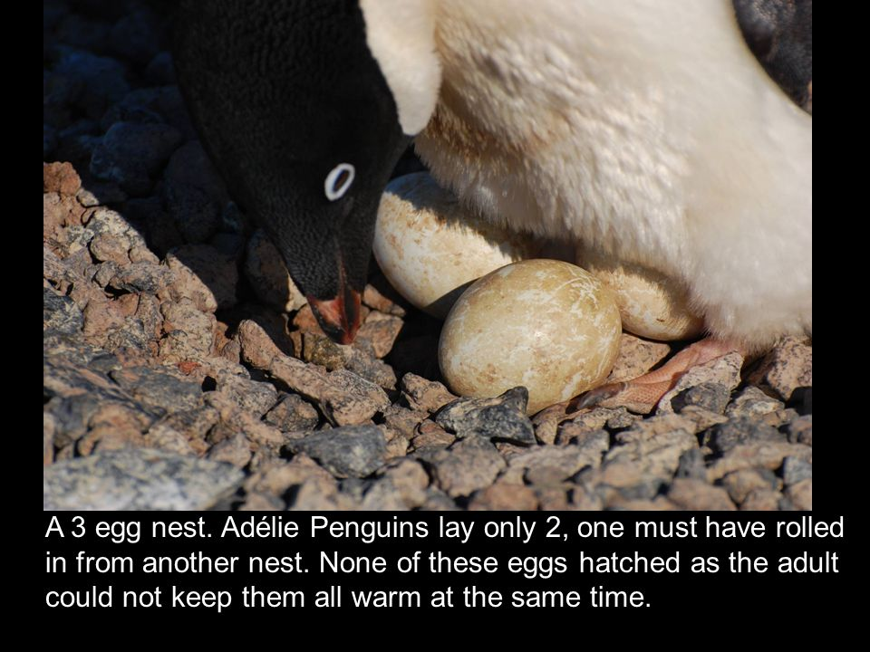 A 3 egg nest. Adélie Penguins lay only 2, one must have rolled in from another nest. None of these eggs hatched as the adult could not keep them all w