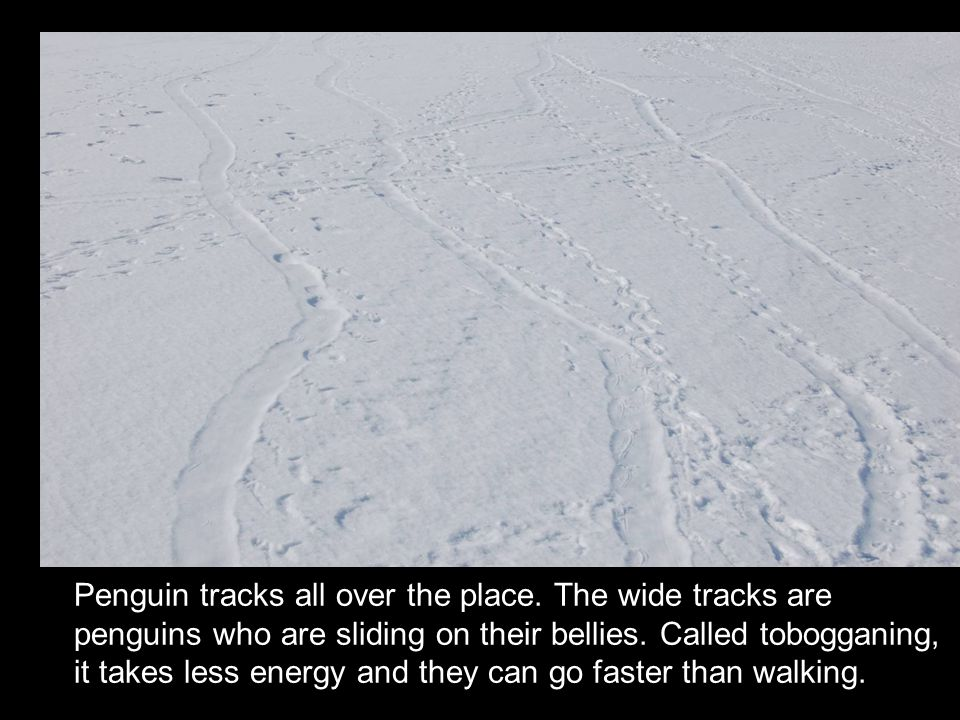 Penguin tracks all over the place. The wide tracks are penguins who are sliding on their bellies. Called tobogganing, it takes less energy and they ca
