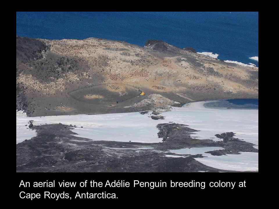 An aerial view of the Adélie Penguin breeding colony at Cape Royds, Antarctica.