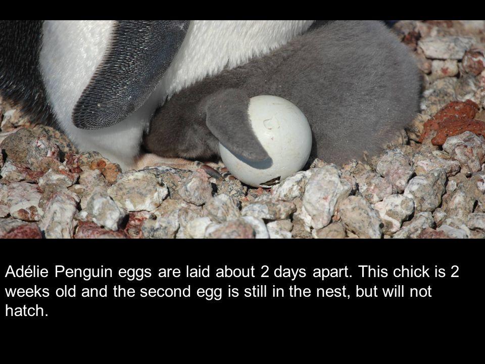 Adélie Penguin eggs are laid about 2 days apart.