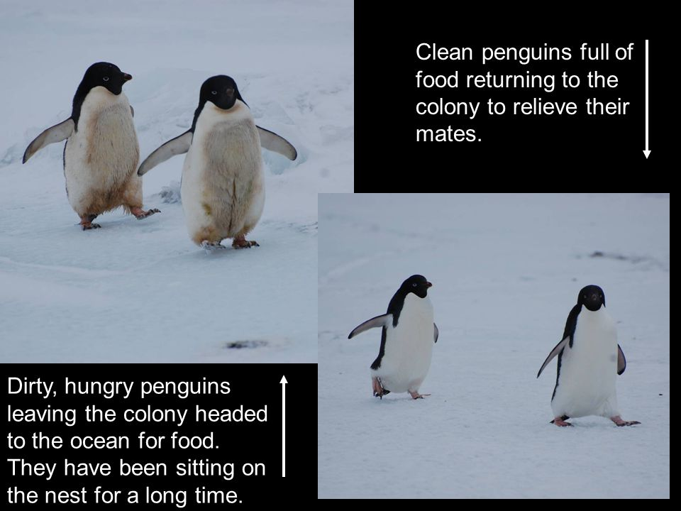 Dirty, hungry penguins leaving the colony headed to the ocean for food. They have been sitting on the nest for a long time. Clean penguins full of foo