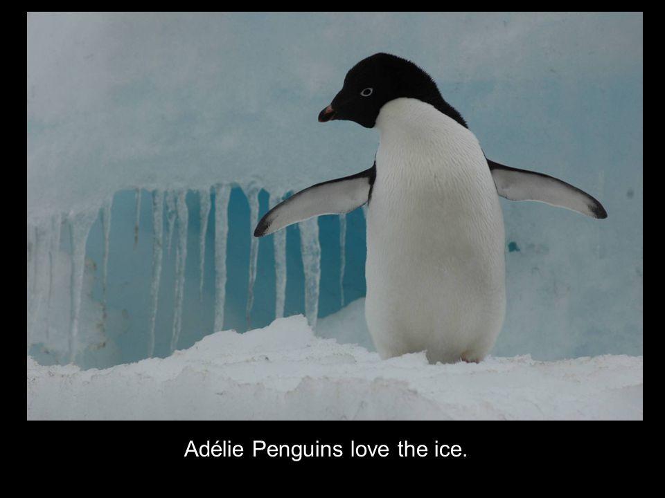 Adélie Penguins love the ice.
