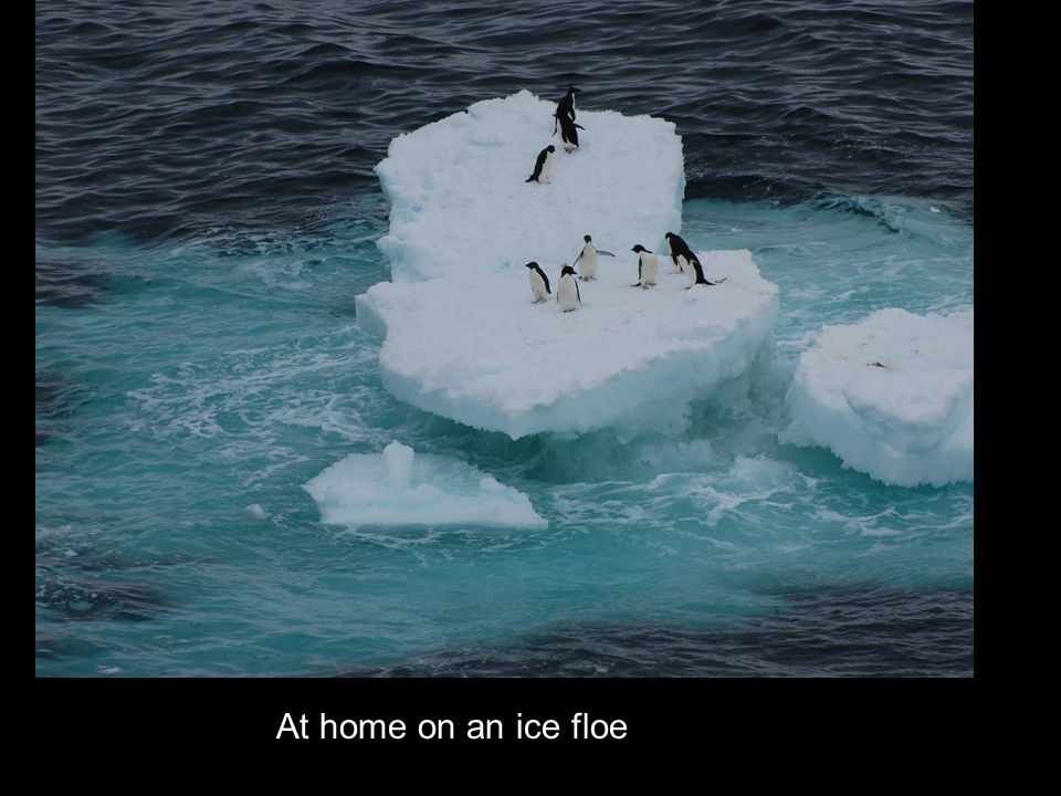 At home on an ice floe
