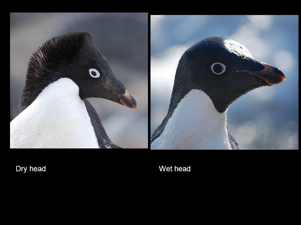 Dry head Wet head