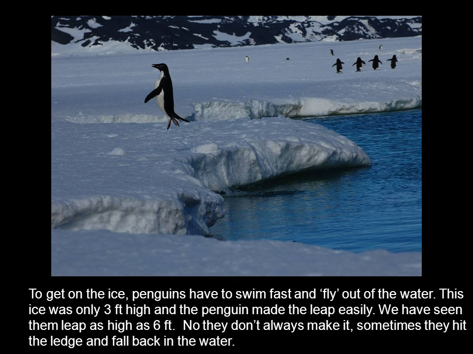 Strong penguin feet, good for climbing on rocks and walking on ice.