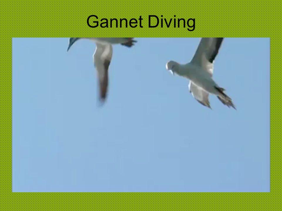 Laysan Albatross Mating Dance