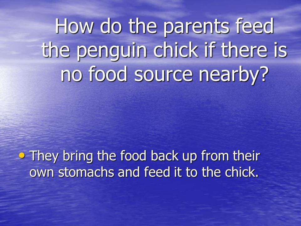 How do the parents feed the penguin chick if there is no food source nearby? They bring the food back up from their own stomachs and feed it to the ch