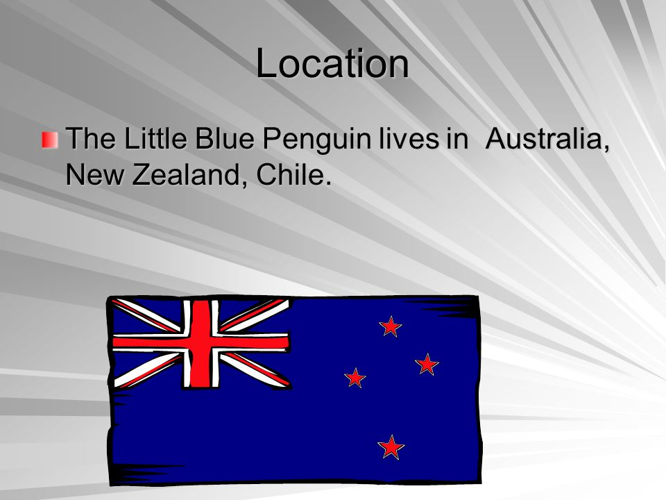 Location The Little Blue Penguin lives in Australia, New Zealand, Chile.